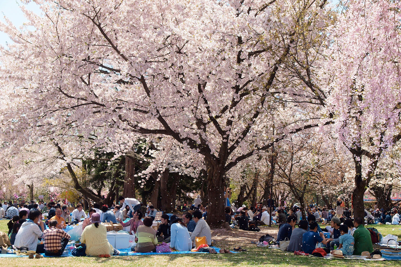 Hirosaki park's cherry blossom carpet