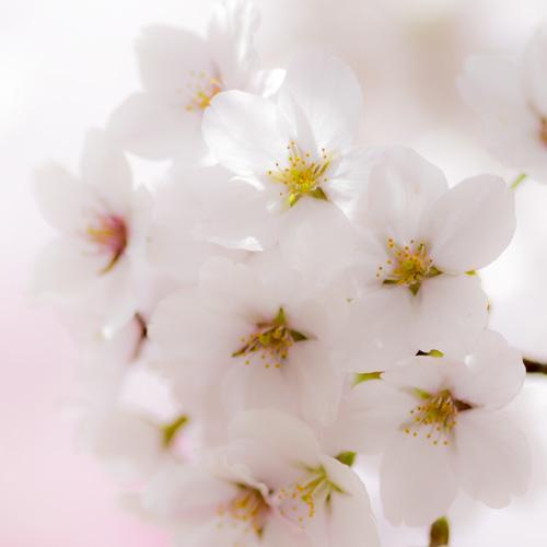 Japan's best cherry blossoms
