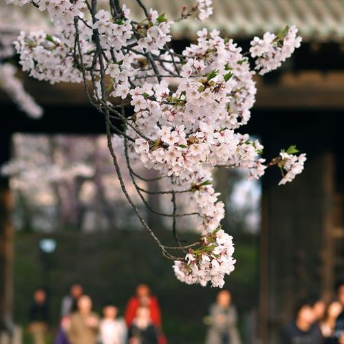 弘前城のある弘前公園の桜