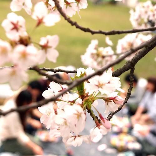 弘前公園でお花見