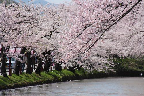 弘前公園外堀の満開の桜