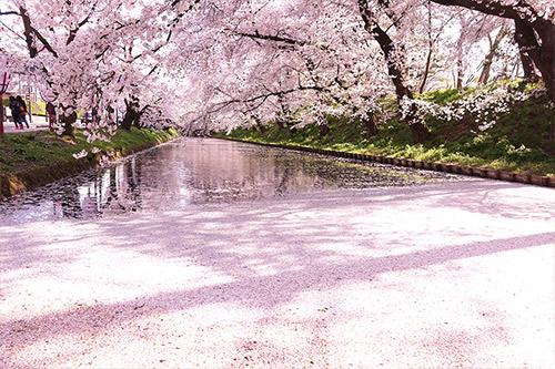 弘前公園の外堀 花筏(花びら絨毯)